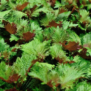 Perilla Bi - Colour - Shiso - Japanese Basil - Appx 340 seeds